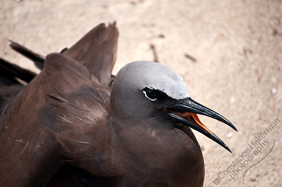 Michaelmas Cay, Great Barrier Reef - Common Noddy
