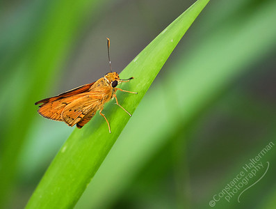 Brisbane - orange moth