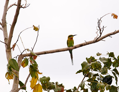 Woodlands - Blue-tailed Bee Eater