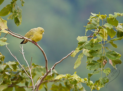Woodlands - Pink-necked Green Pigeon