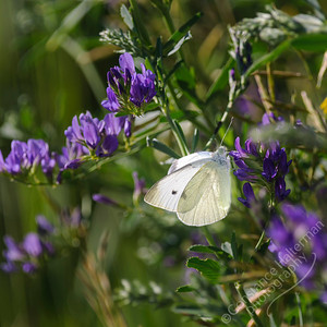 San Luis Valley - alfalfa & butterfly