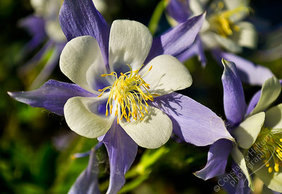 San Luis Valley - Rocky Mountain Columbine