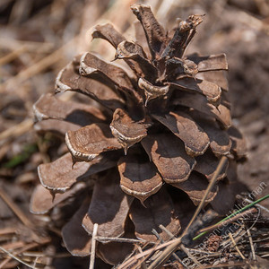 Lower La Jara Creek - pinecone