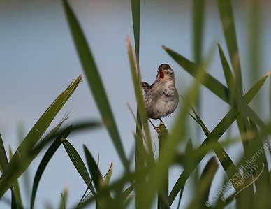 Monte Vista National Wildlife Refuge, San Luis Valley - Marsh Wren