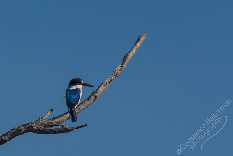 Kakadu National Park, Yellow Water Billabong - Forest Kingfisher