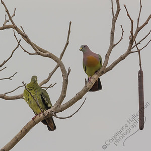 Woodlands - Pink-necked Green Pigeons