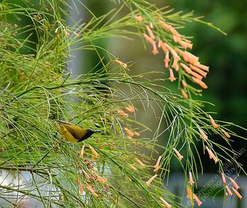 MacRitchie Reservoir - Olive-backed Sunbird