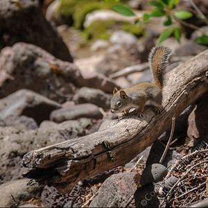 Elk Creek Canyon - squirrel