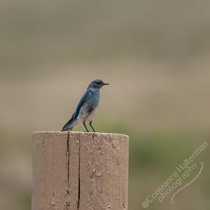 Custer State Park - bluebird