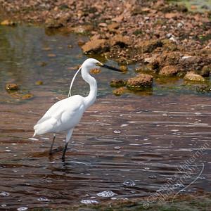 Fogg Dam  - Little Egret
