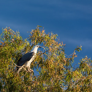Kakadu National Park, Yellow Water Billabong - White-bellied Sea Eagle