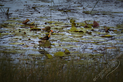 Kakadu National Park, Malukala Wetlands - Comb-crested Jacana and chick