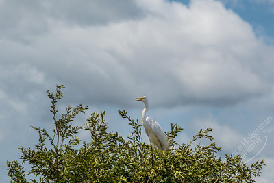 Fogg Dam - Great Egret