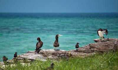 Michaelmas Cay, Great Barrier Reef - Brown Boobie