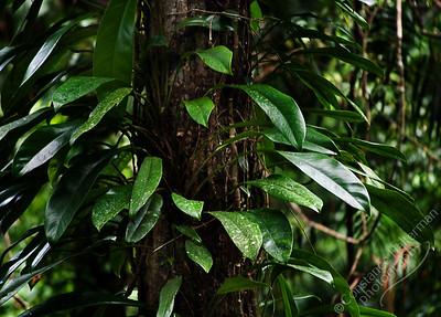 North Queensland - Daintree rainforest