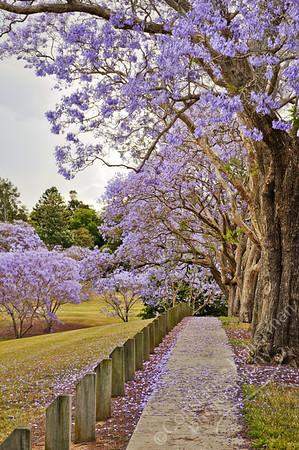 Goodna - Jacaranda trees