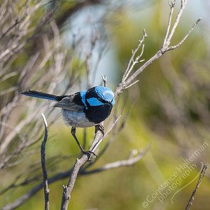 Great Ocean Road - Blue Fairy Wren