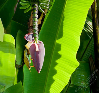 The Lakehouse Hotel, Cameron Highlands - Streaked Spiderhunter on banana flower