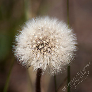 Lower La Jara Creek - dandelion fluff