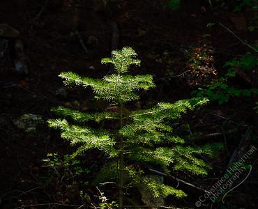 Lower La Jara Creek - sunlit evergreen