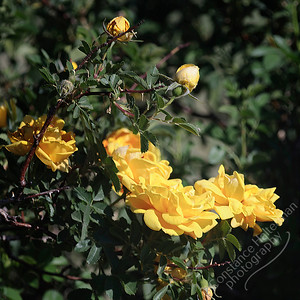 San Luis Valley - yellow roses